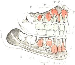 Décoder le langage des dents dans Tests de personnalité dentition1